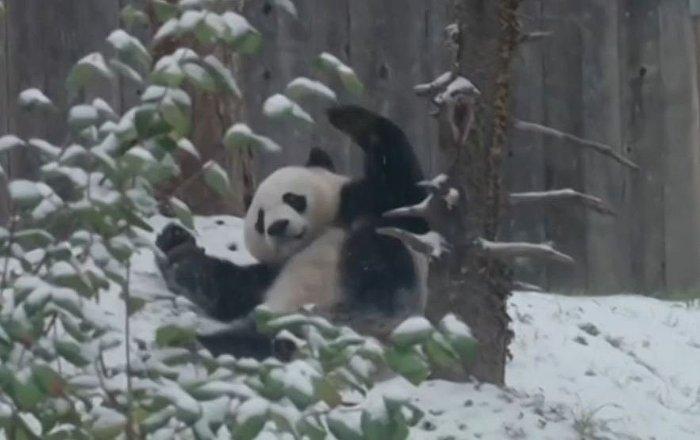 Un oso panda enloquece de alegría tras presenciar la primera nevada
