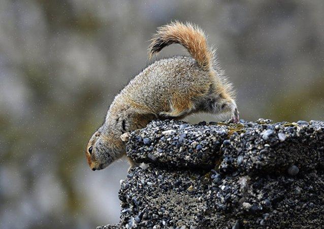 'Spermophilus parryi', el suslik ártico