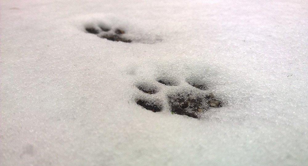 Huellas de un gato en la nieve