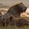 Uno contra decenas: un león se enfrenta solo a una manada de hienas