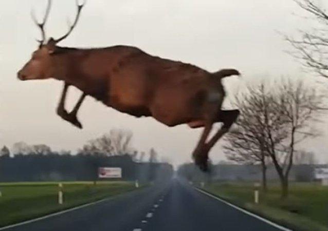 Increíble: un ciervo 'volador' atemoriza a un automovilista