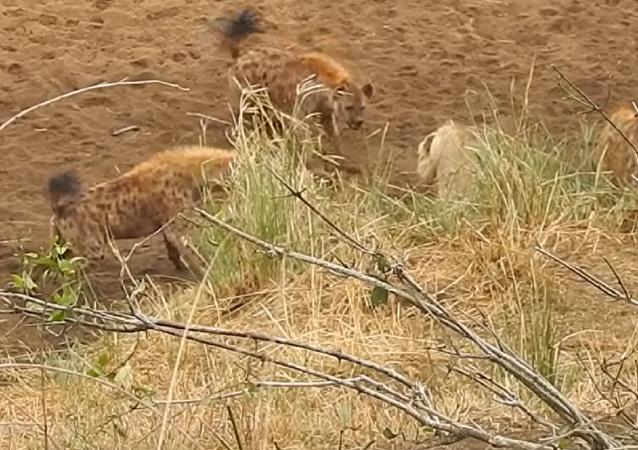 Una manada de leones salva a un amigo acorralado por hienas