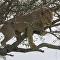 Un león queda atrapado en la copa de un árbol