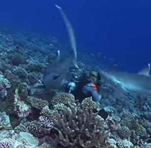No apto para miedosos: seis tiburones rodean a varios buceadores y uno pasa al ataque (vídeo)
