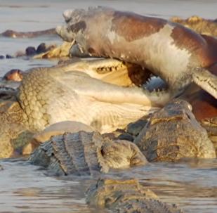Unos hipopótamos defienden a su difunto amigo de cocodrilos