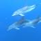Los delfines salvan de un tiburón a un grupo de buzos
