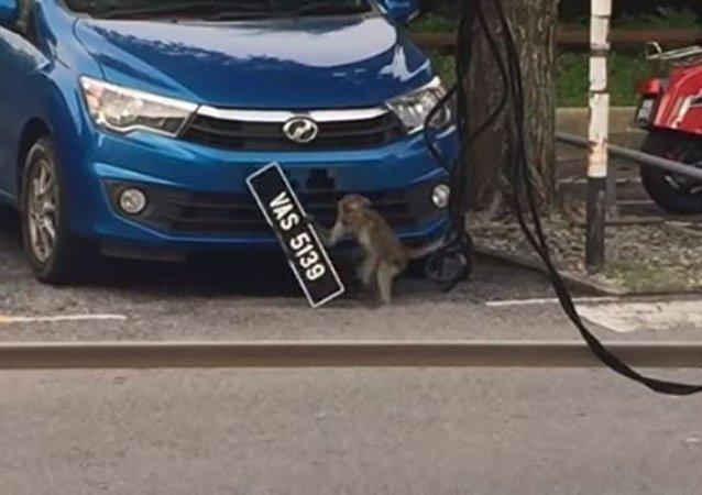 Un robo a plena luz del día: un mono se lleva la placa de un automóvil