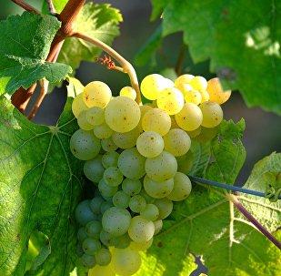 Un racimo de uvas blancas en una parra