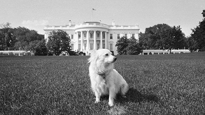 Pushinka, la perrita de John F. Kennedy, cuyo nombre se traduce del ruso como 'pequeña pelusa'