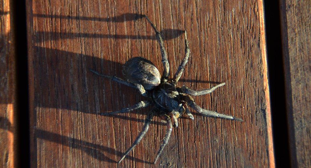 Una araña australiana