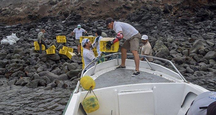 Desembarque de las iguanas Conolophus subcristatus en la Isla Santiago, en Islas Galápagos