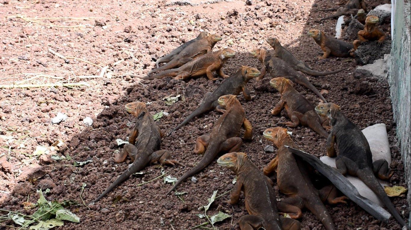 Iguanas Conolophus subcristatus en cautiverio en Seymour Norte, Islas Galápagos