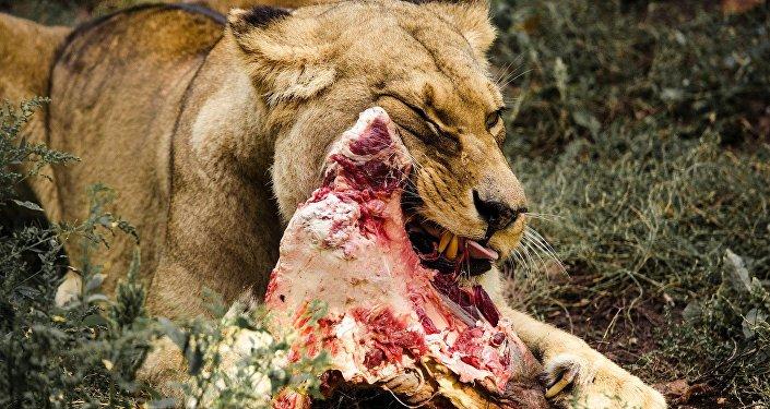 Una leona come su víctima
