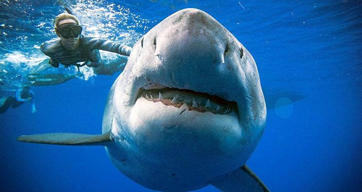 Deep Blue, el tiburón blanco más grande del mundo