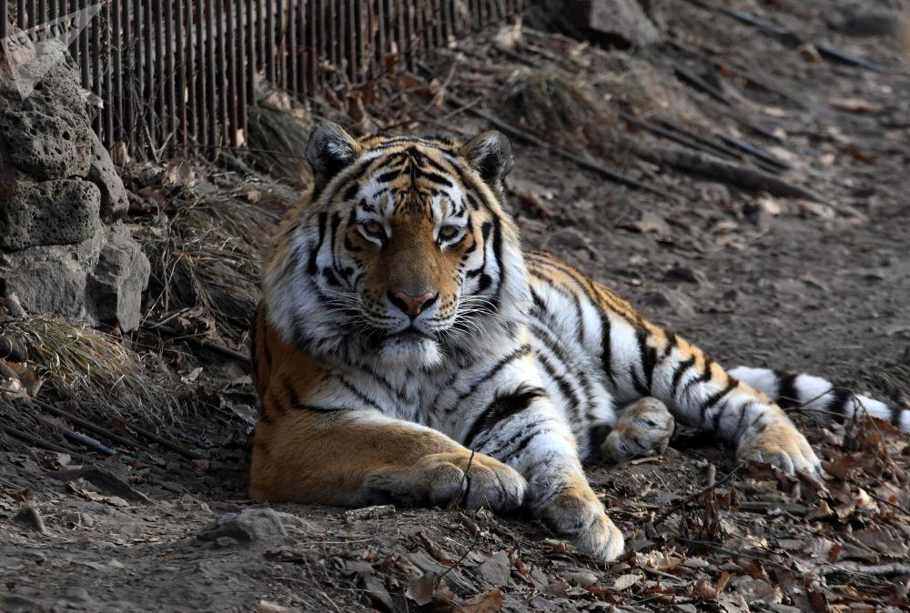 Así vive Amur el tigre siberiano más famoso de Rusia