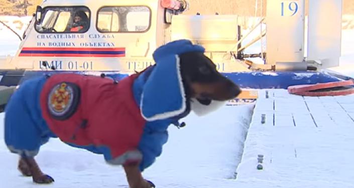 Marussia, perro salchicha que ayuda a bomberos y equipos de rescate de Moscú