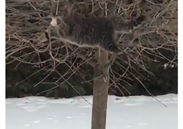 Un enorme gato se luce como equilibrista para saborear un manjar
