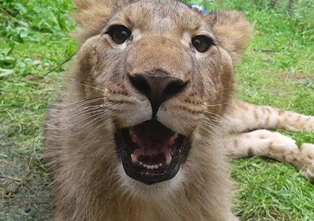 Cuatro leones rescatados en horribles condiciones en Ucrania llegan a su nueva casa africana