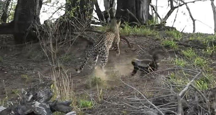 Una tejón ataca a un leopardo