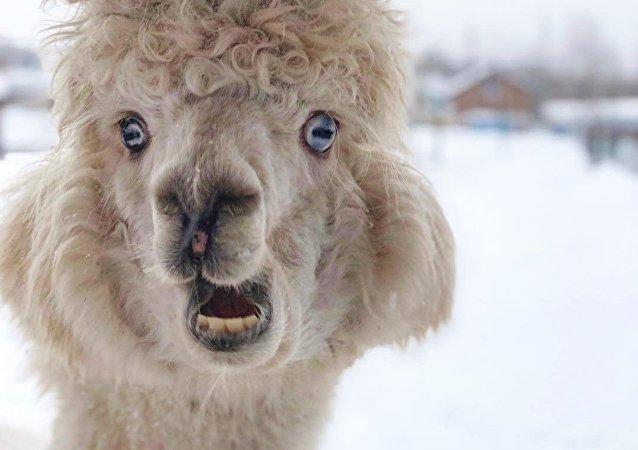 Una alpaca en el invierno ruso