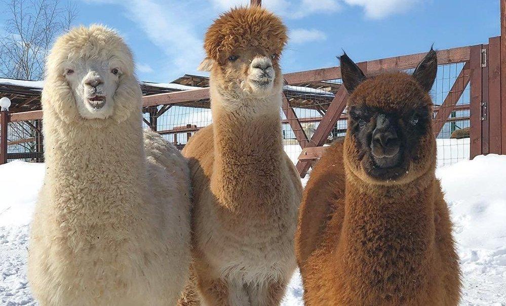 Algunas de las alpacas de la granja 'Alpacas Rusas'