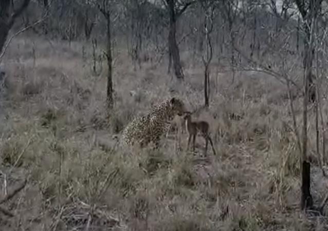 Un leopardo hace realidad la peor pesadilla de un bebé impala
