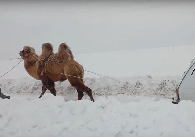 Un camello tira un auto de la nieve