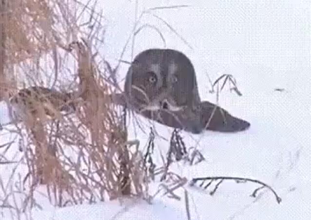 Atrápame si puedes: un búho bucea en la nieve para alcanzar a su presa