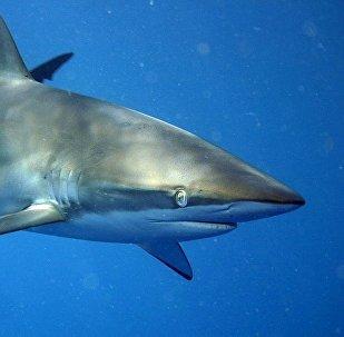 Un tiburón limón