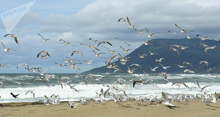 Gaviotas en las islas Kuriles