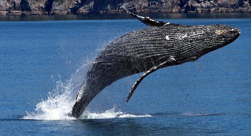 Resultado de imagen de ballena jorobada
