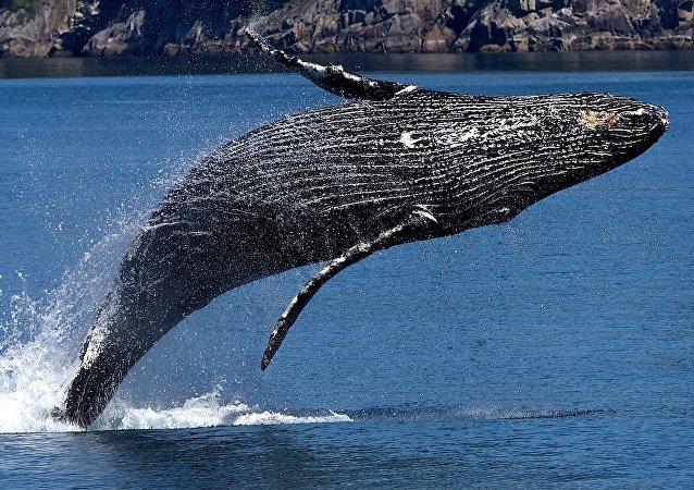 Una ballena jorobada, imagen referencial