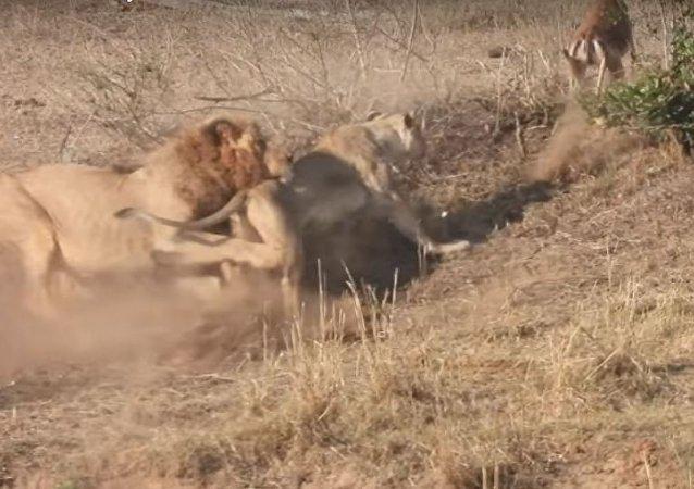 El fracaso de un león
