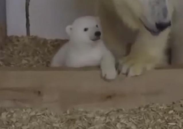 ¡Esta tierna osita polar del zoo de Berlín te robará el corazón!