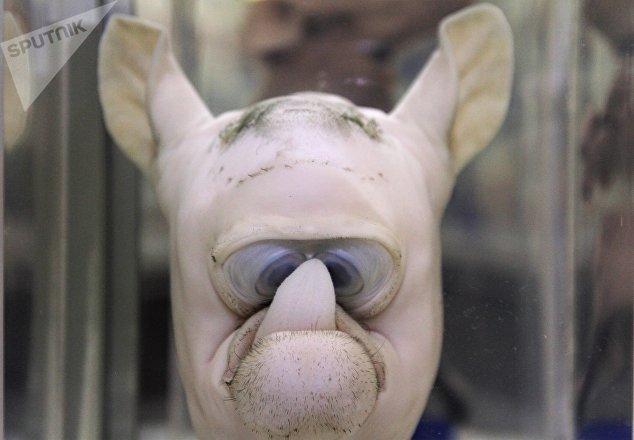 Pieza del Museo de patologías veterinarias de la UNAM. Bovino, ciclope con agenesia maxilar superior.