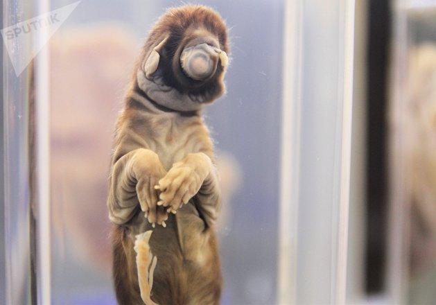 Pieza del Museo de patologías veterinarias de la UNAM. Felino, ciclope agenesia facial.