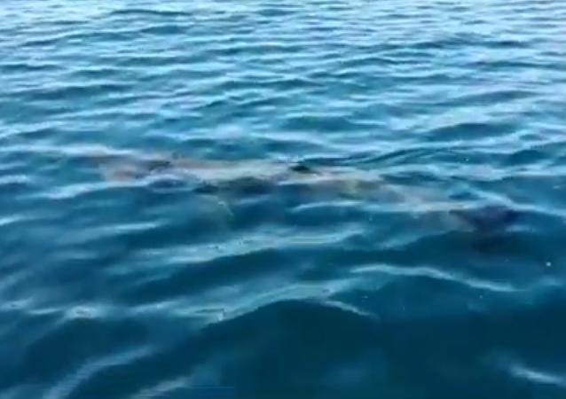 Un tiburón peregrino en aguas del Mediterráneo