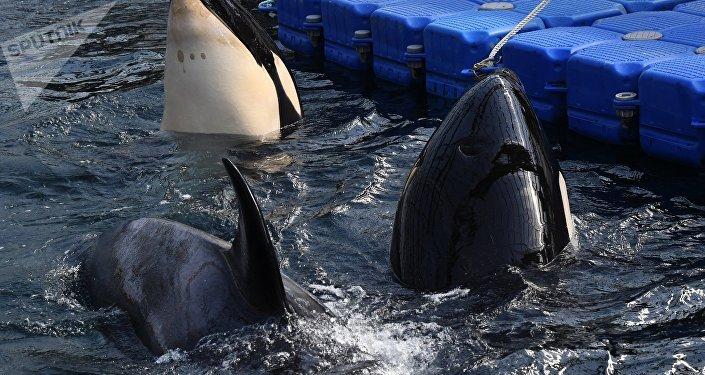 Orcas en la bahía Srédnyaya, en la costa rusa del Pacífico