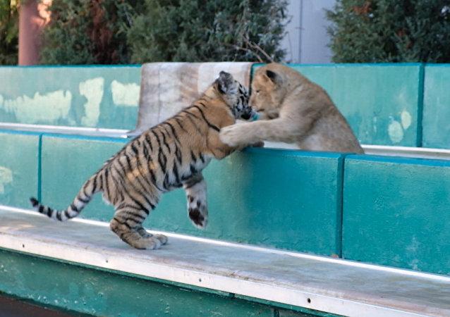 La dulce amistad de dos 'gatos' grandes