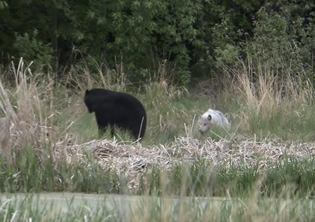 Unos lobos marean a un oso
