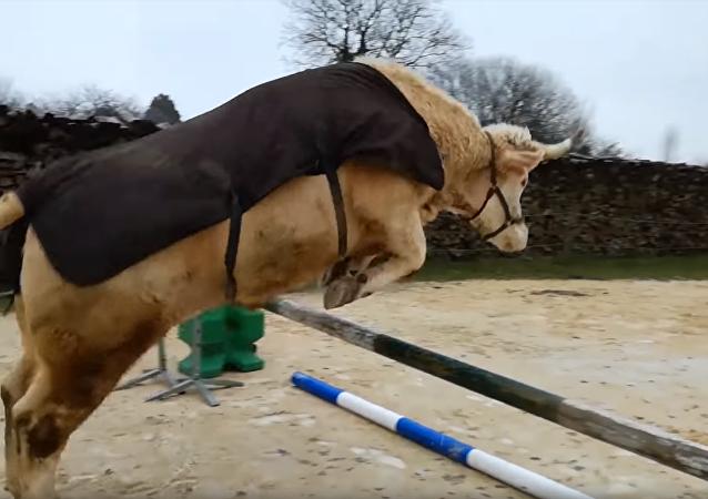 Conoce a Aston, el toro que se cree caballo