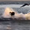 La encarnizada batalla entre un león marino y un tiburón