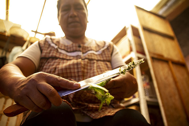 María Guadalupe trabaja con su pequeña huerta de nopales.