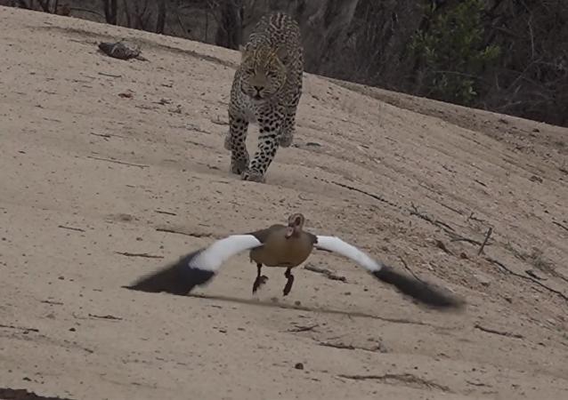 Una madre ganso logra engañar a un leopardo