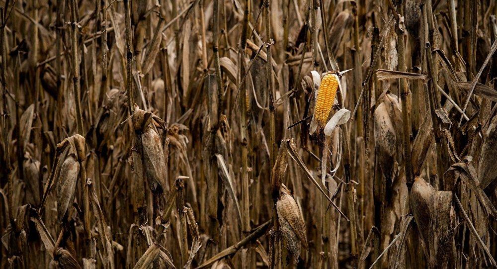 Cultivos de maíz