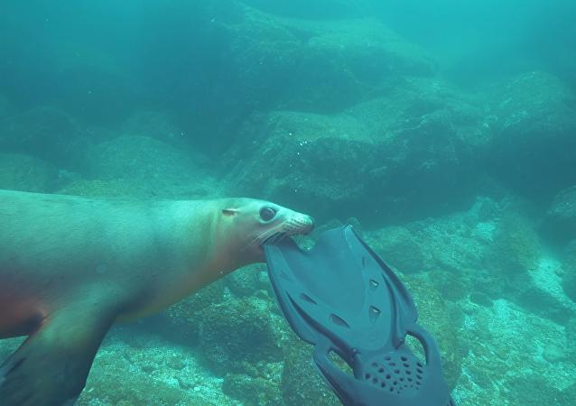 Unas aletas de buceo se convierten en el plato principal de un león marino