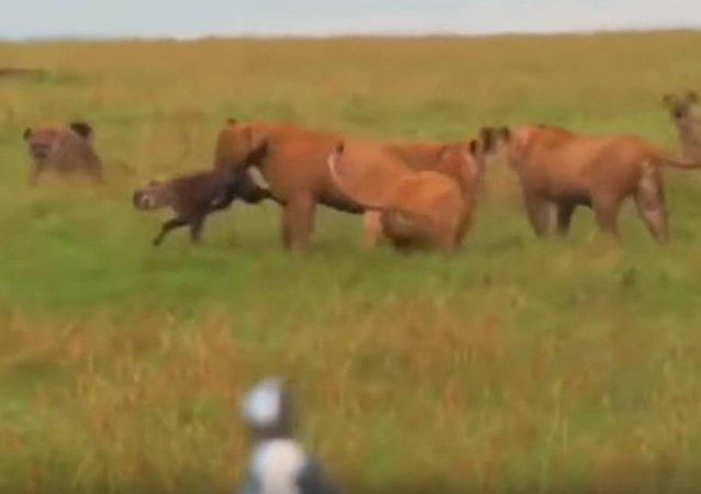 Unos leones atacan a las hienas