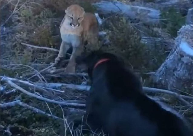 Un perro se enfrenta a un puma