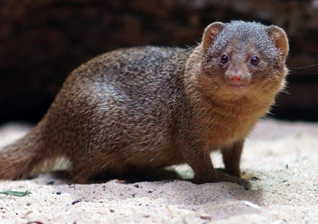 Una mangosta, imagen referencial