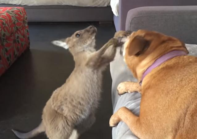 Una cría de canguro le enseña al perro quién manda en casa